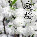 『庭桜(ニワザクラ)』 白花(八重咲き) 5.5号鉢植え 《花芽付き》