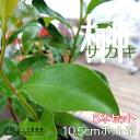 サカキ(榊) 10.5cmポット苗 5本組