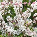 ピンク雪柳(ピンクユキヤナギ)5.5号鉢植え《花芽付き!!》