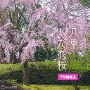 八重しだれ桜 ( ピンク ) 接ぎ木 7号鉢植え