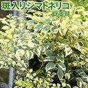 斑入り シマトネリコ 『 天の川 』 13.5cmポット苗木 ( 斑入り葉 )