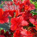 久留米ツツジ 『 筑紫紅 』 13.5cmポット苗...