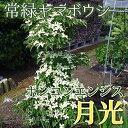 常緑ヤマボウシ『ホンコンエンシス(月光)』 挿し木 10.5cmポット苗