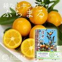 タネなし金柑 『ぷちまる』 15cmポット接木苗