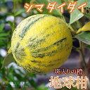 地球柑(シマダイダイ/斑入ダイダイ)18cmポット苗