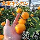 大実キンカン(福寿金柑) 15cmポット接木苗