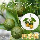 四季橘『カラマンシー』15cmポット接木苗