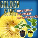 キウイフルーツ『ゴールデンキング』9cmポット接ぎ木苗【オス・メス2本組】