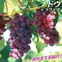 《 実付き 》 ブドウ 『 デラウェア 』 5号鉢植え【期間限定】