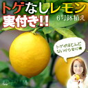 《実付き!!》レモン『トゲなしレモン』 接ぎ木 6号鉢植え(リスボン系)