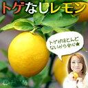 トゲなしレモン 18cmポット接ぎ木苗...