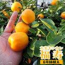 大実キンカン ( 福寿金柑 ) 接ぎ木苗 6号鉢植え (※今季の実付き苗の販売は終了しています)