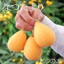 【楽天スーパーSALE 特価!】びわ 『 なつたより 』 13.5cmポット苗木