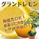 レモン『グランドレモン』 2年生 接ぎ木苗 6号鉢植え