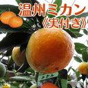 《 実付き 》 早生温州みかん( 西海ミカン ) 接ぎ木苗 6号鉢植え