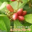 ミラクルフルーツ ( ミラクルベリー ) 17cm鉢植え