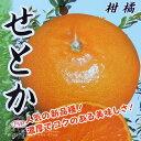 柑橘 『せとか』 13.5cmポット接木苗...
