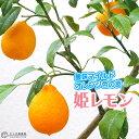 姫レモン ( ヒメレモン ) 15cmポット接木苗 【 珍種 】