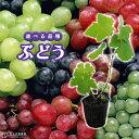 ぶどう (ブドウ) 全8品種 9cmポット苗 【 選べる品種 】