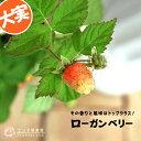 希少! ローガンベリー ( ラズベリー / ブラックベリー ) 9cmポット苗 【 珍種 】