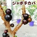 【楽天スーパーSALE 半額商品!】ジャボチカバ 7号ポット 大苗