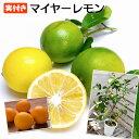 《 実付き 》レモンの木 『マイヤーレモン』 5号鉢植え (※2個以上なり)