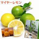 レモンの木 『 マイヤーレモン 』 5号鉢植え(※実付き販売の苗木ではありません)