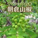 山椒『朝倉サンショウ』 10.5cmポット接木苗
