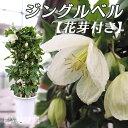 【冬咲きクレマチス】 シルホサ系 『ジングルベル』5号鉢植え 《花芽付き》 05P03Dec16