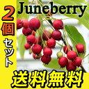 ジューンベリー ( 西洋ザイフリボク ) 10.5cmポット苗 【 送料無料 】 【 2個セット 】