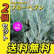 コニファー 『 ブルーヘブン 』 15cmポット苗 【 送料無料 】 【 2個セット 】