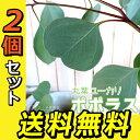 丸葉ユーカリ 『 ポポラス 』 シルバーダラーガム 10.5cmポット 【 送料無料 】 【 2個セット 】