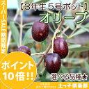 【選べる品種】全13品種!オリーブ(3年生)5号スリット鉢植え <スーパーセール期間限定ポイント10倍!>