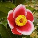 侘び寂びを表現する椿は、日本を代表する花木です。椿(ツバキ) 玉之浦(たまのうら) 9cmポット苗
