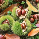 秋の味覚。イガイガの中には甘くて美味しい栗が!栗「利平(りへい)」15cmポット苗
