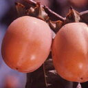 柿 ( 渋柿 ) 『 西条 ( さいじょう ) 』 15cmポット苗