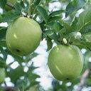 りんご 『 王林 ( おうりん ) 』 15cmポット苗 ( 黄リンゴ )