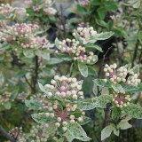 桜でまり(斑入り葉コデマリ) 15cmポット苗