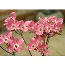 紅花が美しいハナミズキの代表品種!アメリカハナミズキ チェロキーチーフ15cmポット苗