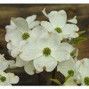 花も実も綺麗、黄色い斑入りの葉が珍しい。アメリカハナミズキ レインボー15cmポット苗