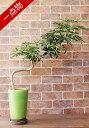 【一点物】観葉植物 カポック シェフレラ コンパクター 陶器鉢 A0059