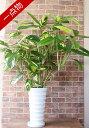 【一点物】観葉植物 クテナンテ リュベルシアナ 陶器鉢 A0055