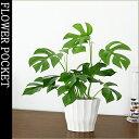 【観葉植物アクアセラミック】姫モンステラ(ヒメモンステラ)ホワイト横長ポット