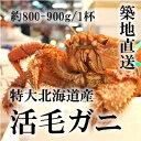 お歳暮 特大活毛ガニ 最高級品 北海道産 約800-900g(1杯)[築地直送]贈答 年末年始 グルメ 送料無料 鮮魚 毛蟹 送料無料