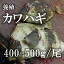 活〆カワハギ 大分産 養殖 約400-500g(築地直送)鮮魚 生 活締め 【カワハギ400-500g】