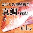 活〆真鯛 愛媛産 養殖 約1-1.5kg(築地直送)鮮魚 生 活締め【ヨウダイ1-1.5K】