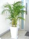 アジアンモダンな雰囲気のアレカヤシ。【楽ギフ_包装】スクエア陶器鉢仕立てアレカヤシ/120cm前後