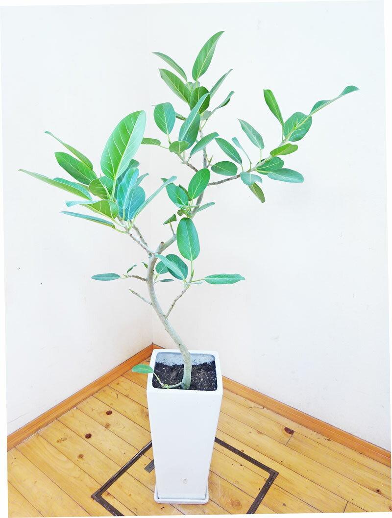 【smtb-ms】【送料無料】【一鉢限定】人気のロングスクエア陶器鉢仕立ての綺麗な樹形のベンガレンシス/145cm(9号)【楽ギフ_包装】