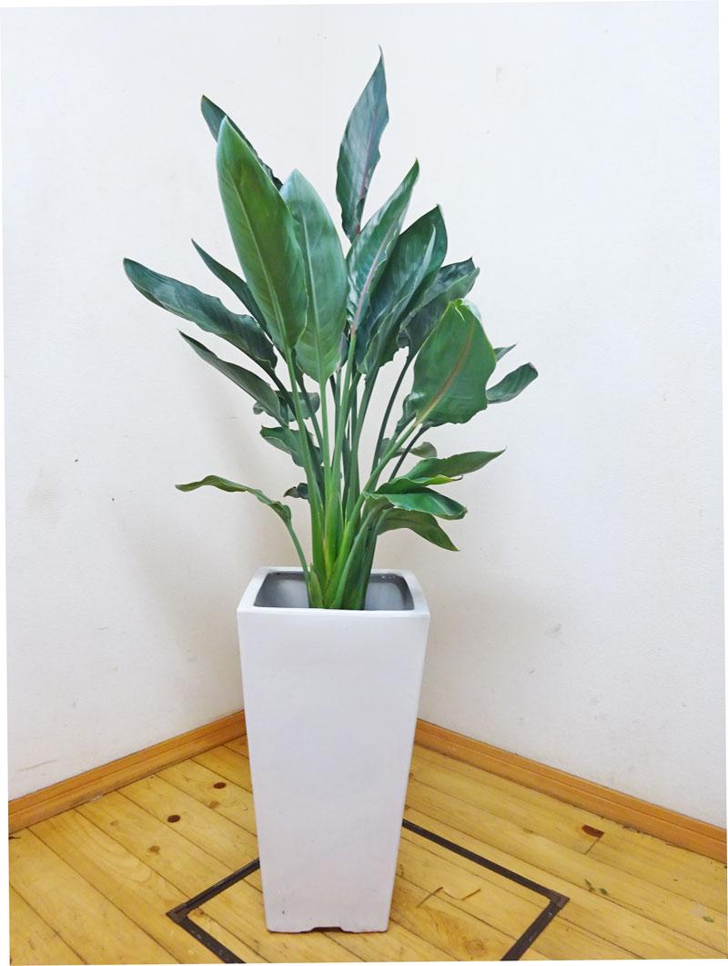 【送料無料】【smtb-ms】ロングスクエア陶器鉢仕立てのインパクト抜群!!レギネ/140cm前後(10号) スタイリッシュな姿と花の形から極楽鳥とも呼ばれています。鮮やかな花を咲かせます。※写真のような商品をお届けします。