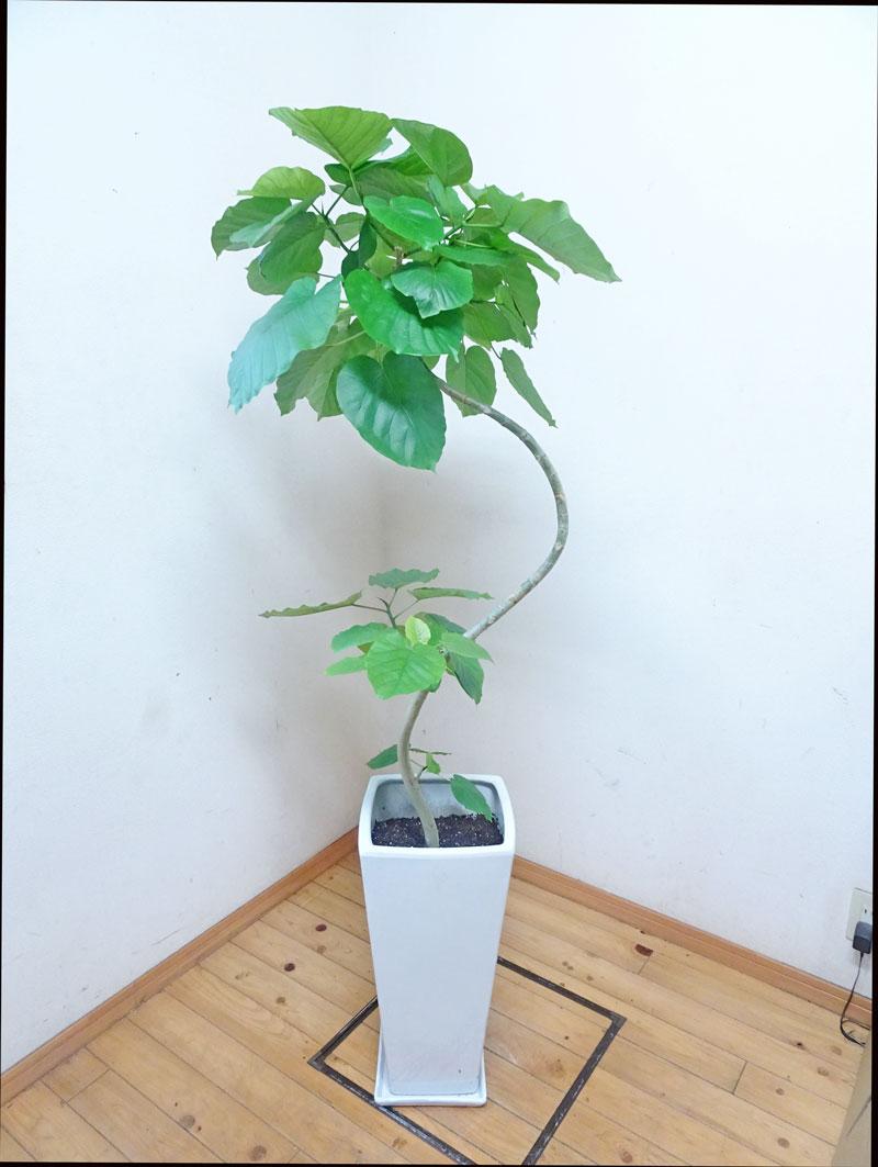 ロングスクエア陶器鉢仕立ての綺麗な樹形のフィカス・ウンベラータ140cm前後9号鉢写真のような商品を